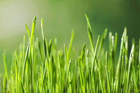 Green wheat grass with dew drops on blurred background, closeup Stock Photo