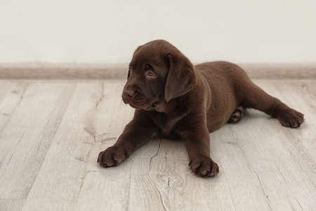 Chocolate Labrador Retriever puppy on floor indoors Stock Photo