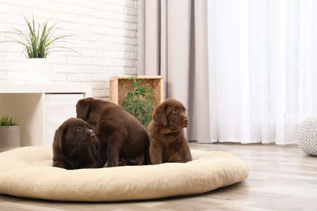Chocolate Labrador Retriever puppies on pet pillow at home Stock Photo