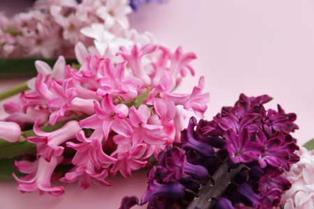 Beautiful spring hyacinth flowers on color background, closeup