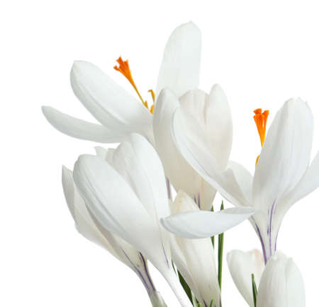 Beautiful spring crocus flowers on white background