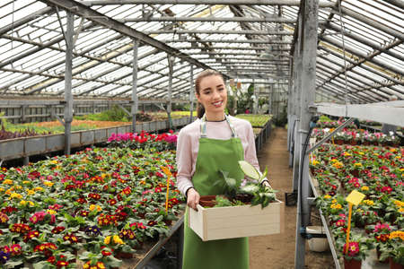 Young woman holding wooden crate with potted plants in greenhouse. Home gardening Stok Fotoğraf