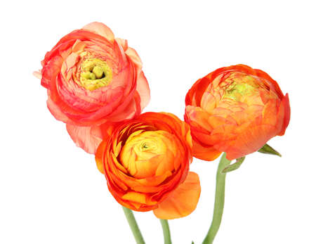 Beautiful spring ranunculus flowers isolated on white background Archivio Fotografico