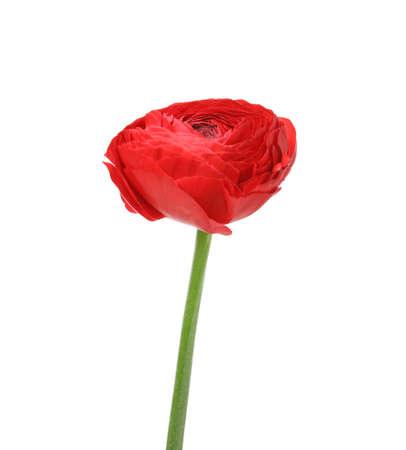 Beautiful spring ranunculus flower isolated on white Archivio Fotografico - 120047958