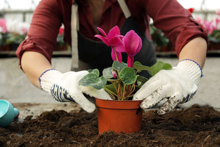 Woman potting flower in greenhouse, closeup. Home gardening Standard-Bild