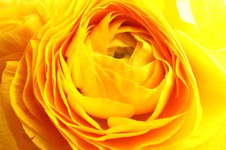Beautiful ranunculus flower as background, macro view