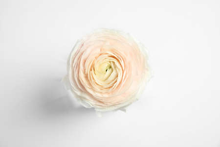 Beautiful ranunculus flower on white background, top view
