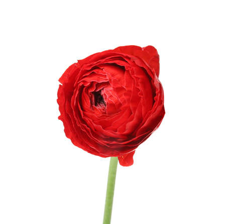 Beautiful spring ranunculus flower isolated on white
