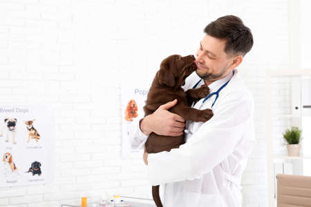Professional veterinarian holding cute Labrador puppy in clinic Stock Photo