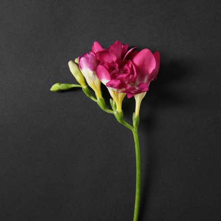 Beautiful bright freesia flower on dark background, top view 免版税图像
