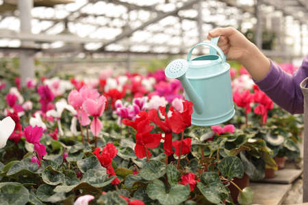 Woman watering blooming flowers in greenhouse, closeup. Home gardening Stock Photo