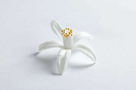 Beautiful blooming citrus flower on white background 免版税图像