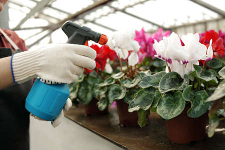 Woman taking care of blooming flowers in greenhouse, closeup. Home gardening