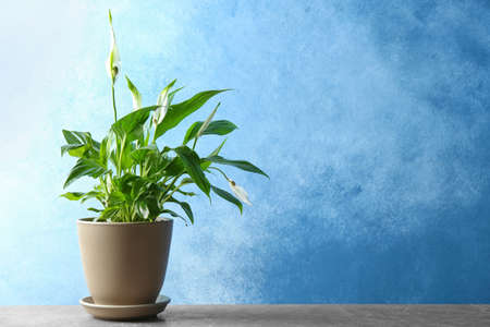 Pot with peace lily on table against color wall. Space for text