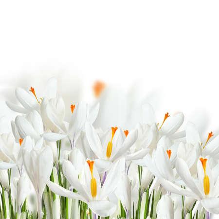Fresh spring crocus flowers on white background