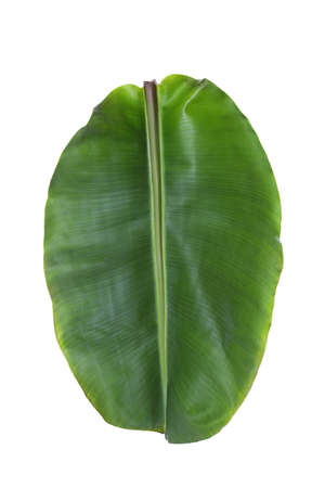 Fresh green banana leaf on white background. Tropical foliage