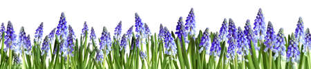 Many blooming spring muscari flowers on white background 免版税图像