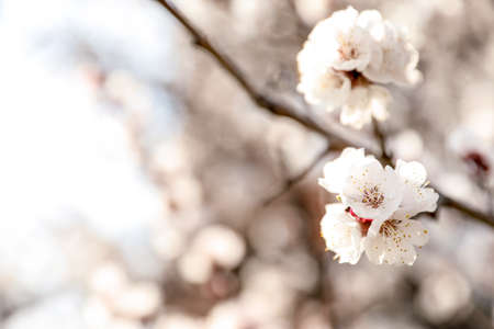 Beautiful apricot tree branch with tiny tender flowers outdoors, space for text. Awesome spring blossom Stock Photo