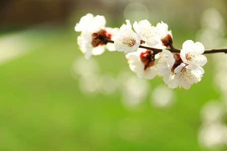 Beautiful apricot tree branch with tiny tender flowers against blurred background, space for text. Awesome spring blossom