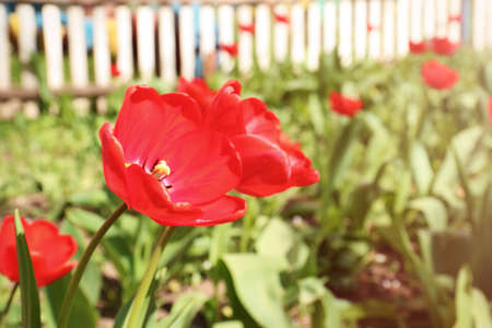 Many beautiful tulips in garden on sunny day. Blooming spring flowers