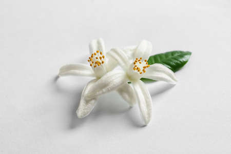 Beautiful blooming citrus flowers and leaf on white background