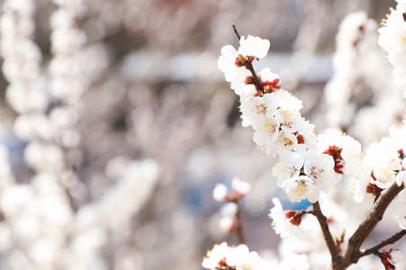 Beautiful apricot tree branches with tiny tender flowers outdoors, space for text. Awesome spring blossom