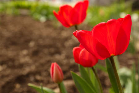 Beautiful bright tulips in garden, space for text. Blooming spring flowers
