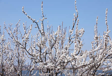 Beautiful apricot tree branches with tiny tender flowers outdoors. Awesome spring blossom