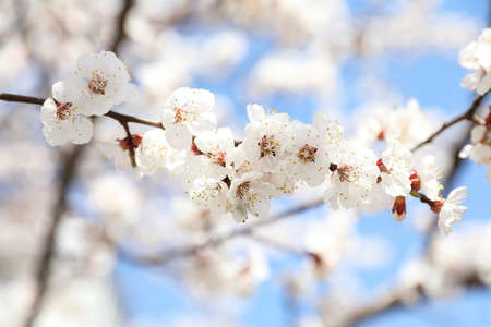 Beautiful apricot tree branch with tiny tender flowers outdoors. Awesome spring blossom