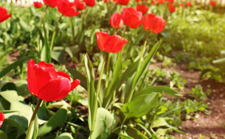 Many beautiful tulips in garden on sunny day, space for text. Blooming spring flowers Stock Photo