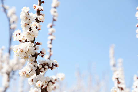Beautiful apricot tree branches with tiny tender flowers against blue sky, space for text. Awesome spring blossom Stock Photo