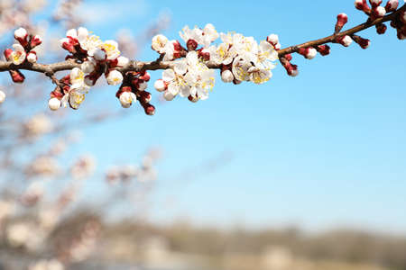 Beautiful apricot tree branch with tiny tender flowers against blue sky, space for text. Awesome spring blossom Stock Photo
