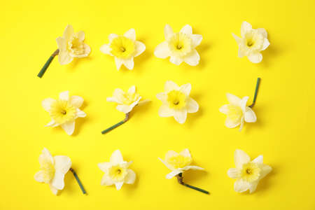 Flat lay composition with daffodils on color background. Fresh spring flowers