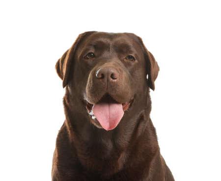 Chocolate labrador retriever on white background. Adorable pet