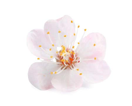 Bellissimo albero di albicocche in fiore su sfondo bianco. Primavera Archivio Fotografico