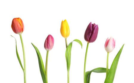 Hermosos tulipanes brillantes sobre fondo blanco. Flores de primavera