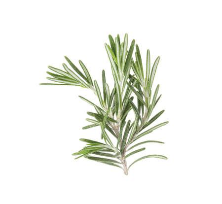 Frischer grüner Rosmarinzweig auf weißem Hintergrund