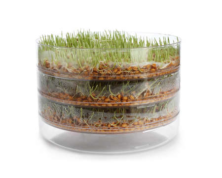 Fresh wheat grass in sprouter on white background