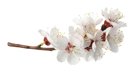 Branch with beautiful fresh spring flowers on white background Stock Photo
