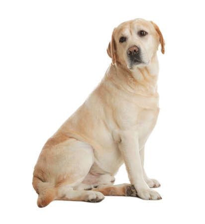 Labrador retriever amarillo sentado sobre fondo blanco. Foto de archivo