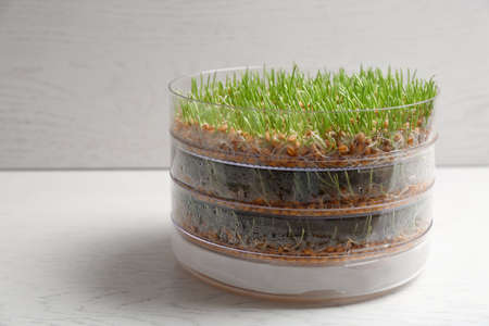 Wheat grass in sprouter on table against light background, space for text
