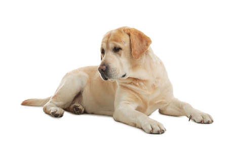 Yellow labrador retriever lying on white background