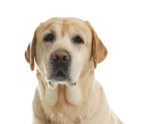 Gelber Labrador-Apportierhund auf weißem Hintergrund. Entzückendes Haustier Standard-Bild
