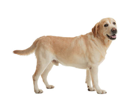 Yellow labrador retriever standing on white background