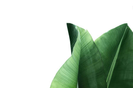 Fresh green banana leaves on white background, top view. Tropical foliage Stok Fotoğraf