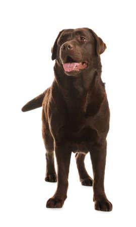 Chocolate labrador retriever standing on white background