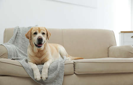 Yellow labrador retriever on cozy sofa indoors Banco de Imagens
