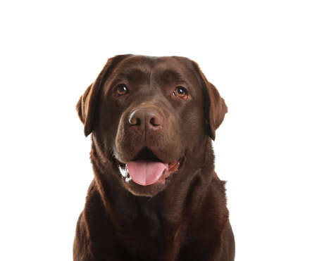 Chocolate labrador retriever on white background. Adorable pet 스톡 콘텐츠
