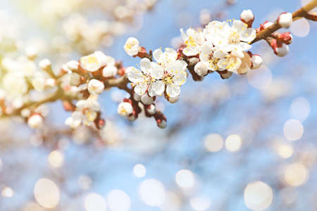 Beautiful tree branch with tiny tender flowers on sunny day, space for text. Awesome spring blossom