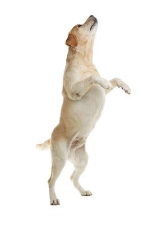 Labrador retriever amarillo saltando sobre fondo blanco. Foto de archivo